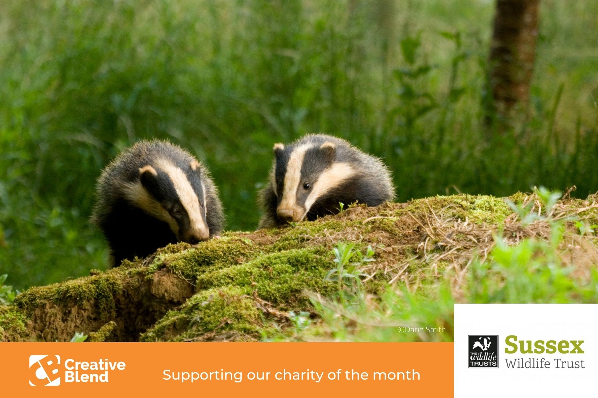 two badgers by a tree in sussex